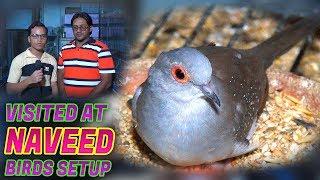 Badges Cocktail Lovebird parrots and dove for sale at Naveed setup Jamshed Asmi Informative Channel