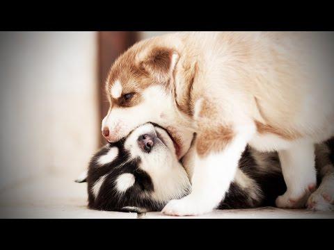 PUPPY FIGHTS ★ Funny Puppies Fighting (HD) [Funny Pets] - UCeZe0VwwhEf8KTI2FHfJtTg