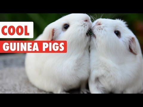 Cool Guinea Pigs Video Compilation 2017 - UCPIvT-zcQl2H0vabdXJGcpg