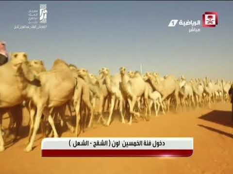 الاستديو المصاحب لتغطية  مهرجان الملك عبدالعزيز للإبل يوم الاثنين ٢٢-١-٢٠١٨م