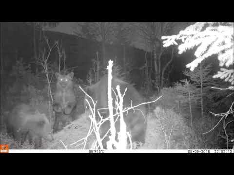 Björnfamiljen i Värmland - ett halvår senare