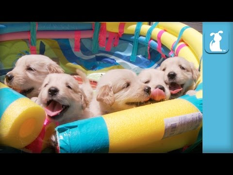 So Many Golden Retriever Puppies! (CUTE COMPILATION) - Puppy Love - UCPIvT-zcQl2H0vabdXJGcpg