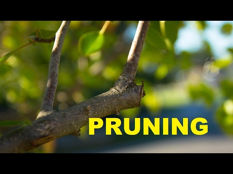 Pruning Grapes~Muscadines~Peaches~Plums and Nectarines