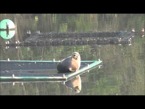 湖山池にやってきたアザラシと同じ「コヤマみどり」さん求む!~全国都市緑化とっとりフェア応援団員募集~