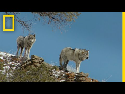 Wolves of Yellowstone On The Hunt | National Geographic