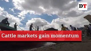 Cattle markets gain momentum
