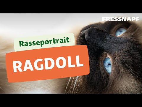Rasseportrait Ragdoll
