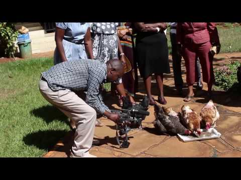 Poultry feeding on Black Soldier Fly larvae, a demonstration exercise conducted by icipe