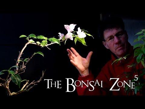 Bougainvillea Bonsai, Part 2, The Bonsai Zone, Jan 2018