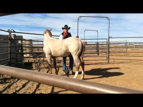 Halter starting with AQHA Professional Horseman Brent Graef