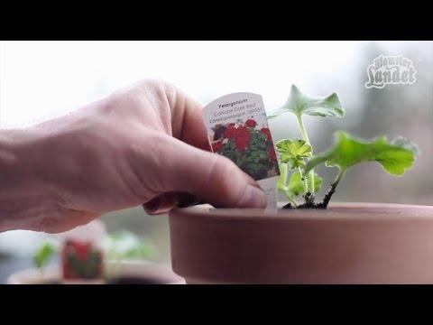 Plantera stickling - gör så här