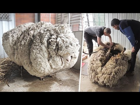 Esta oveja desapareció 5 años y así fue como volvió  | Animales mas peludos