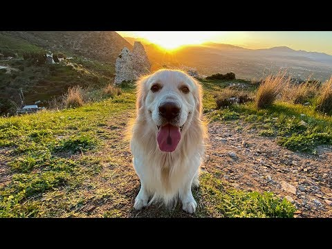 What a Walk with a Golden Retriever Looks Like