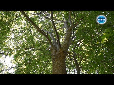 BTA: Варна - за вековните дървета и грижата за тях