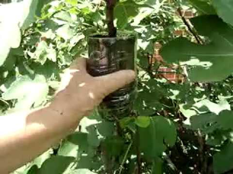 Fig Tree Propagation, Never Fail Best and Simplest Way Part 1