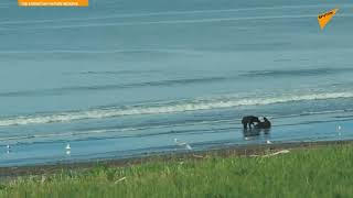 Russia: Bears and Whale Enjoy a Playful Moment in Kamchatka