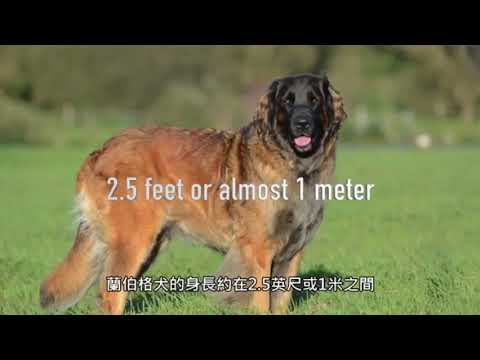 Biggest 10 Dog breeds in the planet