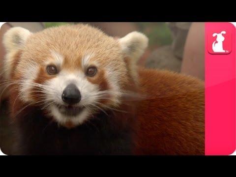 Bindi & Robert Irwin feature - Red Pandas (Yoddah and Pasang) - Growing Up Wild. - UCPIvT-zcQl2H0vabdXJGcpg