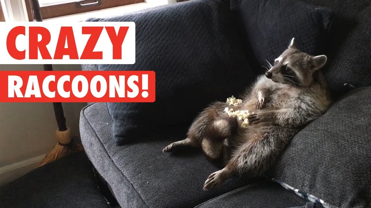 Raccoons Are Just Weird Cats Crazy Raccoon Compilation 2017 Fpvracer Lt