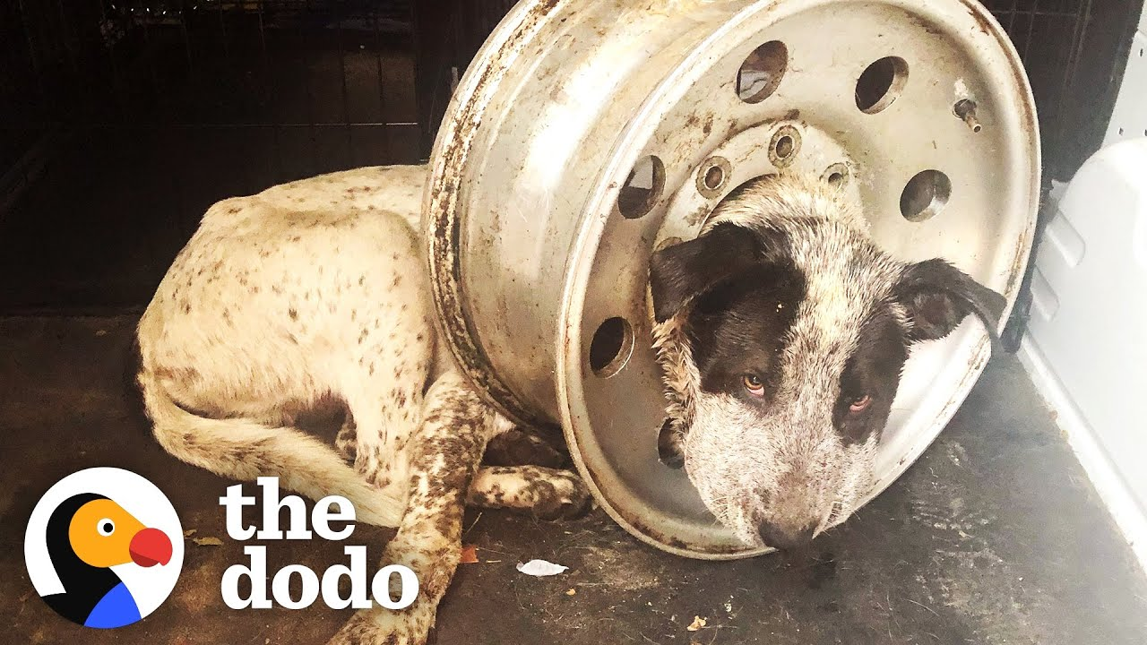 Dog Is Freed From Giant Tire On His Head   The Dodo Adopt Me!