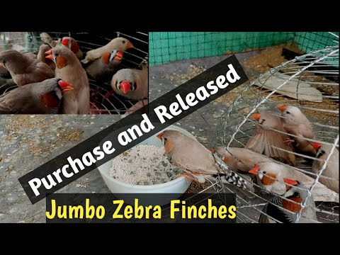 New Beautiful Jumbo Finches Purchased