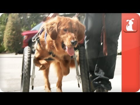 Unadoptables - A blind and physically disabled golden retriever searches for a home - UCPIvT-zcQl2H0vabdXJGcpg
