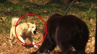 Dog vs Grizzly Bear - Wild Animal Attacks 2019