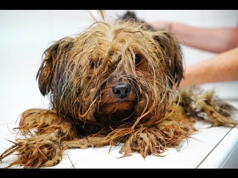 Amazing transformation of a Yorkie used at a puppy mill for breeding his entire life - UCjISfp5zGQYW3R4HpTs2iTw