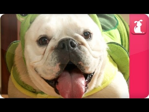 Rescued Bulldog Lily Loves her Turtle Suit - Pet Sense - UCPIvT-zcQl2H0vabdXJGcpg