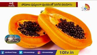 High Profit with Taiwan papaya cultivation | Matti Manishi | 10TV News