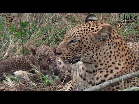Seriously Cute Little Leopard Cub