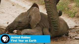 Baby Safina Takes a Tumble | Animal Babies: First Year on Earth | PBS