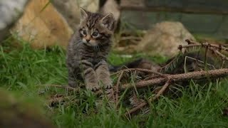Birth of Scottish wildcat kittens is sign of hope for species, conservationists say