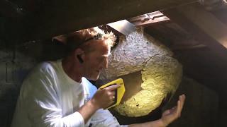 Autopsie d'un nid de frelons asiatiques..