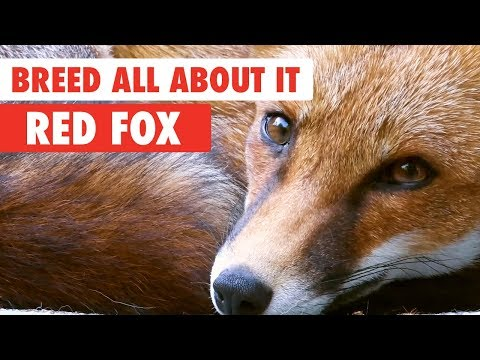 Breed All About It: Red Fox - UCPIvT-zcQl2H0vabdXJGcpg