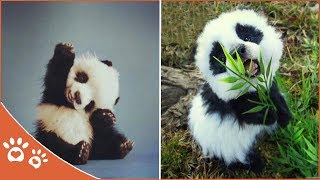 Cute Panda 👀 Little Panda Puppy  (2019) Funny Pet Videos
