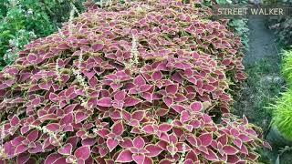খুবই অল্প দামে ফুলের চারা, সরাসরি নার্সারি থেকে || Flower Tree from Nursery || Street Walker