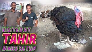 Peacock Turkey Parrots teeter Chakor for sale at  Tahir birds shop Jamshed Asmi Informative Channel