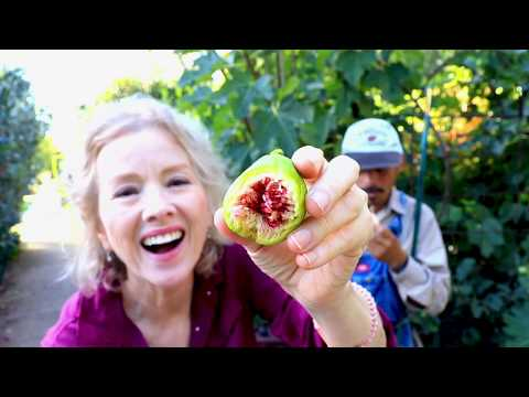 NEVER BUY SUGAR AGAIN! | Sugarcane Harvest, FIGS! HUGE Garden Workday