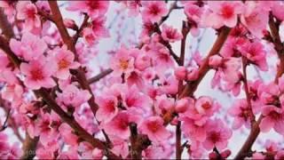 Fiori Rosa Fiori Di Pesco Testo.Lucio Battisti Fiori Rosa Fiori Di Pesco English Lyrics