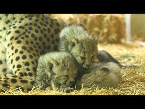 Four cheetah cubs make their debut at Vienna zoo | AFP