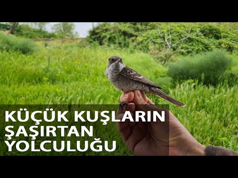 8 Gram Bir Kuş, Karadeniz'i Bir Gecede Geçebiliyor
