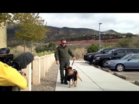 Rex the Bernalillo County Sheriff's Office K-9 showing off his recovery May 2, 2016.