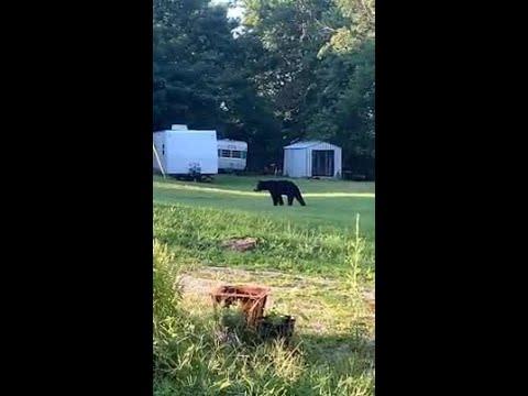 WATCH: Blackbear spotted roaming through Elizabethtown backyard