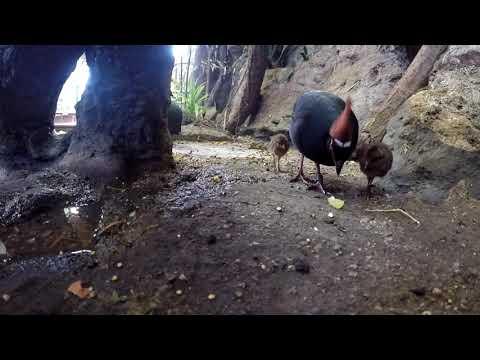 Kuřátka křepelek korunkatých