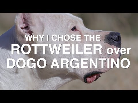 WHY I CHOSE THE ROTTWEILER OVER THE DOGO ARGENTINO