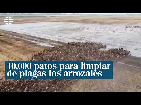 10.000 patos limpian de plagas los arrozales de Tailandia