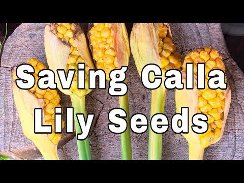 Saving Calla Lily Seeds