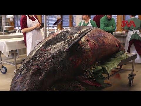 SVA och Naturhistoriska riksmuseet undersöker två näbbvalar, som strandat på västkusten. I filmen intervjuas SVA:s viltpatolog Aleksija Neimanis.