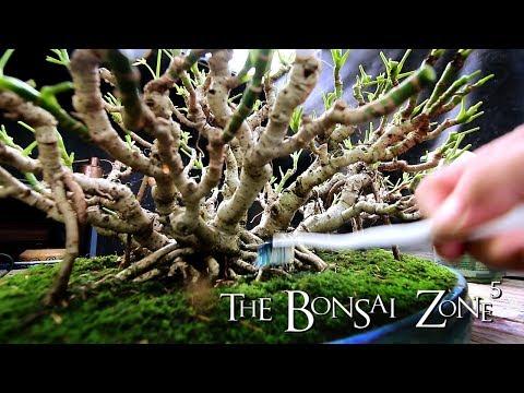 My Bonsai Show Tree Selection, Part 6, Sept 2018